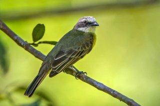Grey-capped Flycatcher - Myiozetetes granadensis
