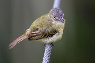 Gray-crowned Flycatcher - Tolmomyias poliocephalus