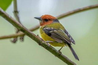 Johnson's Tody-Flycatcher - Poecilotriccus luluae