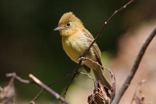 Northern Tufted Flycatcher - Mitrephanes phaeocercus