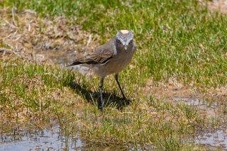Ochre-naped Ground-Tyrant - Muscisaxicola flavinucha
