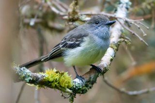 Pale-edged Flycatcher - Myiarchus cephalotes