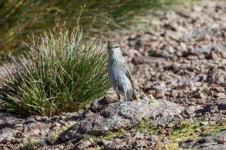 Puna Ground-Tyrant - Muscisaxicola juninensis