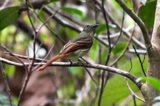 Rufous-tailed Flatbill - Ramphotrigon ruficauda