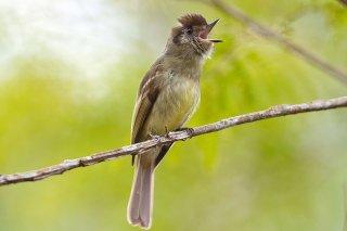 Sepia-capped Flycatcher - Leptopogon amaurocephalus