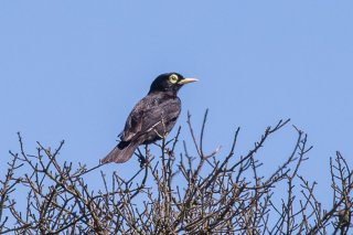 Spectacled Tyrant - Hymenops perspicillatus