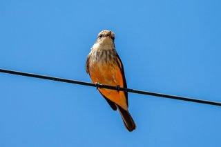 Vermillion Flycatcher (f) - Pyrocephalus obscurus