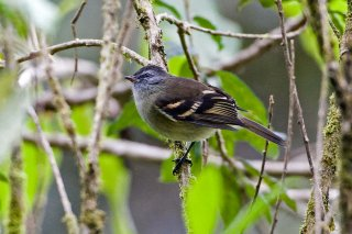 White-banded Tyrannulet - Mecocerculus stictopterus