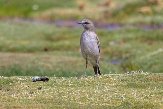 White-fronted Ground-Tyrant - Muscisaxicola albifrons