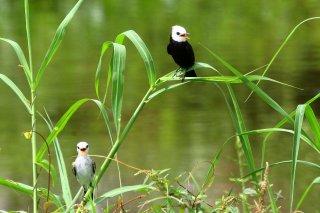 White-headed Marsh-Tyrant - Arundinicola leucocephala