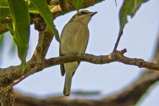 Common Woodshrike - Tephrodornis pondicerianus