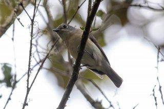 Red-tailed Vanga (f) - Calicalicus madagascariensis