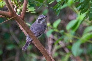 Sri Lanka Woodshrike - Tephrodornis affinis