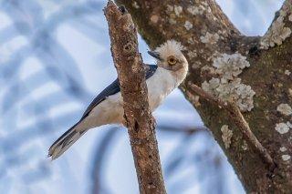 White-crested Helmetshrike - Prionops plumatus