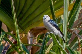 White-headed Vanga - Artamella viridis