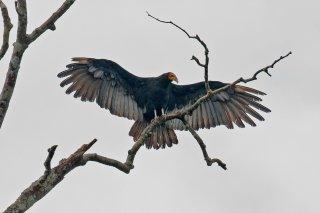 Greater Yellow-headed Vulture - Cathartes melambrotus