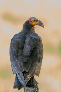 Lesser Yellow-headed Vulture - Cathartes burrovianus