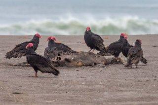 Turkey Vultures - Cathartes aura
