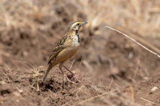 Abyssinian Longclaw - Macronyx flavicollis