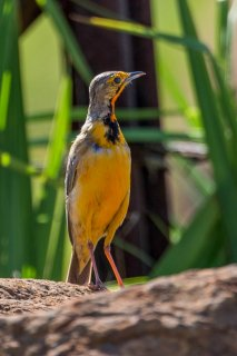 Cape Longclaw - Macronyx capensis