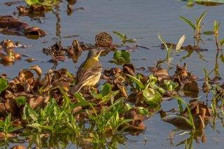 Eastern Yellow Wagtail - Motacilla tschutschensis