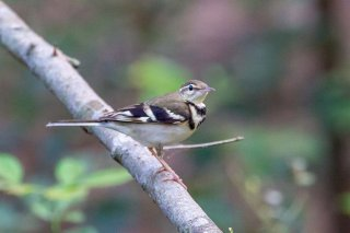 Forest Wagtail- - Dendronanthus indicus