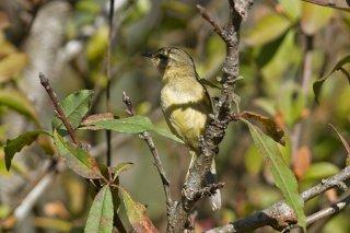 Arctic Warbler - Phylloscopus borealis