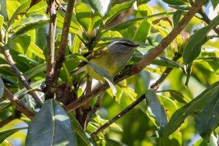 Ashy-throated Warbler - Phylloscopus maculipennis