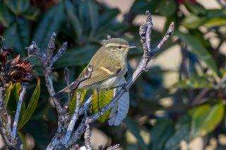 Buff-barred Warbler - Phylloscopus pulcher
