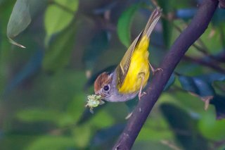 Chestnut-crowned Warbler - Phylloscopus castaniceps