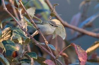 Mountain Chiffchaff - Phylloscopus sindianus