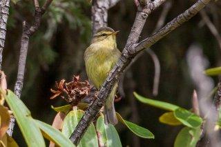 Sulphur-bellied Warbler - Phylloscopus griseolus