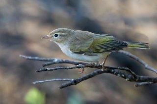 Western Bonelli's Warbler - Phylloscopus bonelli