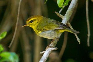 Yellow-throated Woodland Warbler - Phylloscopus ruficapilla