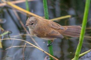 African Reed Warbler - Acrocephalus baeticatus
