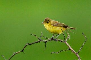 African Yellow Warbler - Iduna natalensis