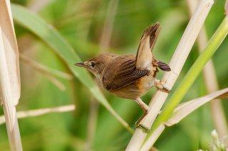 Eurasian Reed Warbler - Acrocephalus scirpaceus