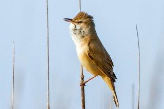 Great Reed Warbler - Acrocephalus arundinaceus