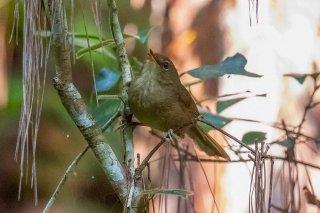 Madagasy Brush Warbler - Nesillas typica