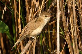 Oriental Reed Warbler - Acrocephalus orientalis