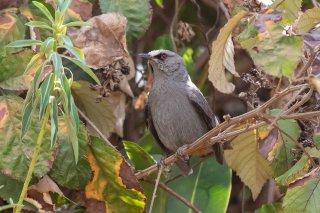 Abyssinian Catbird - Parophasma galinieri