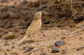African Desert Warbler - Sylvia deserti