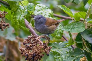 African Hill Babbler - Sylvia abyssinica