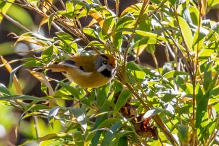 Black-throated Parrotbill - Suthora nipalensis