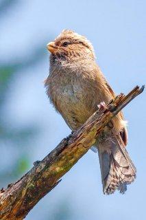 Brown Parrotbill - Cholornis unicolor