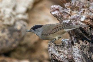 Eurasian Blackcap - Sylvia atricapilla
