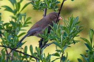 Great Parrotbill - Conostoma aemodium