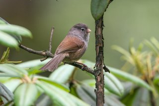Grey-hooded Parrotbill - Sinosuthora zappeyi
