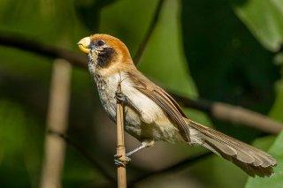 Spot-breasted Parrotbill - Paradoxornis guttaticollis