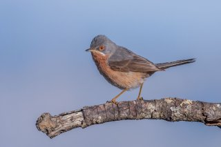 Subalpine Warbler - Sylvia cantillans